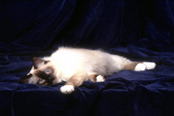 Gatito tumbado