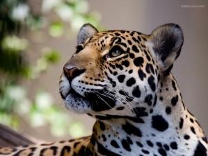 Postal: Un bonito leopardo