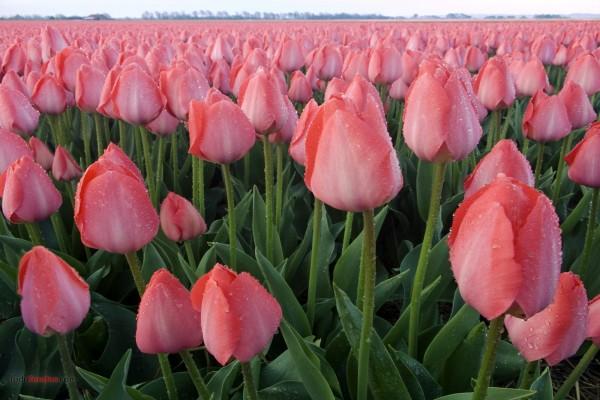 Campo de tulipanes rosas
