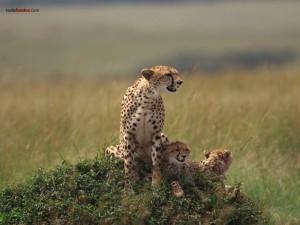 Postal: Guepardo con sus crías
