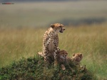 Guepardo con sus crías