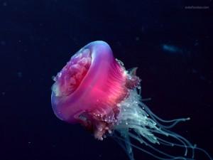 Medusa morada