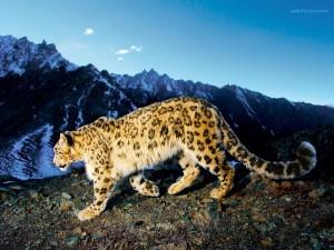 Postal: Leopardo de las nieves (gatopardo)