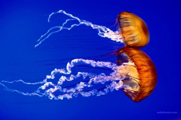 Pareja de medusas