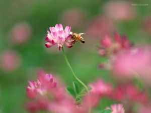 Abeja libando el néctar de la flor