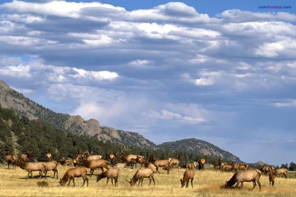 Rebaño de uapitís (ciervos canadienses)