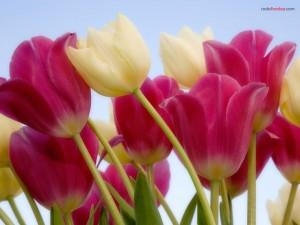 Tulipanes blancos y rosas