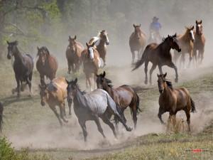 Manada de caballos al galope