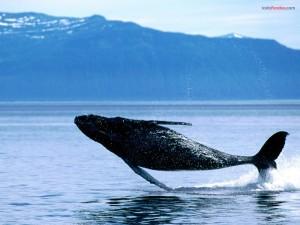 Postal: Salto de ballena