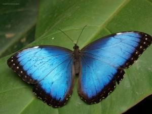Postal: Mariposa azul