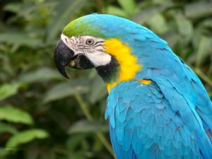 Postal: Guacamayo azul