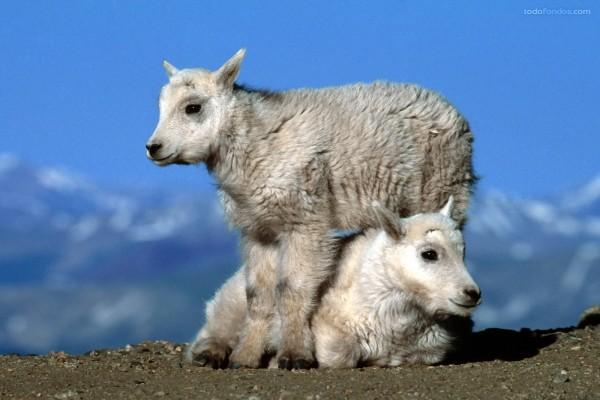Dos cabras bebé