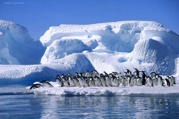 Pingüinos al agua