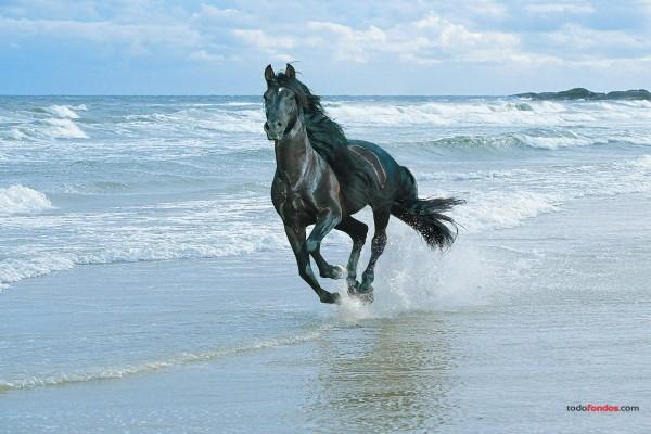 Caballo negro por la playa