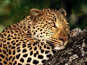 Postal: Leopardo pensando