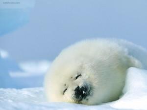 Foca pía o foca de Groenlandia