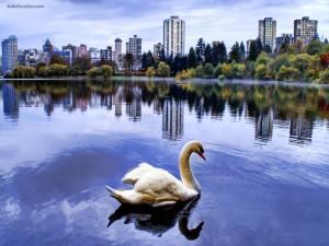 Postal: Un cisne en la ciudad