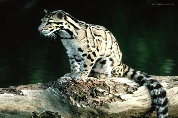 Leopardo Nebuloso (Neofelis nebulosa)