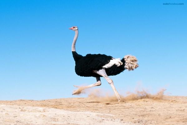 Avestruz corriendo