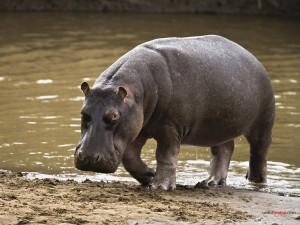 Postal: Hipopótamo saliendo del agua