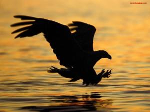 Postal: Águila sobre el agua