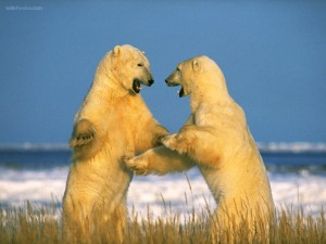 Pelea de osos polares