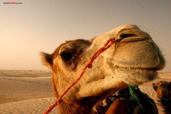 Camello de cerca