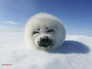 Postal: Cría de foca pía