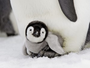 Postal: Bebe pingüino