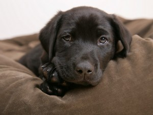 Postal: Perro de ojos tristes