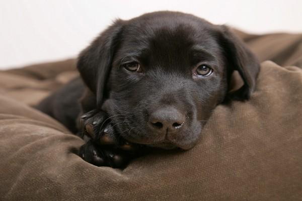 Perro de ojos tristes