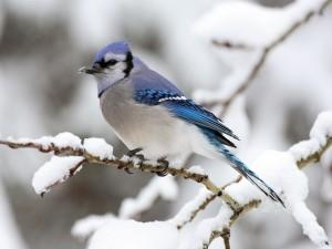 Postal: Arrendajo azul (Cyanocitta cristata)