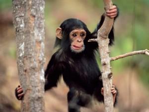 Postal: Chimpancé