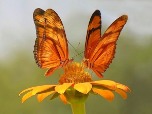 Postal: Mariposas anaranjadas