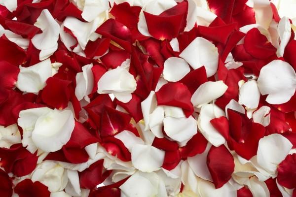 Pétalos de rosas, rojos y blancos