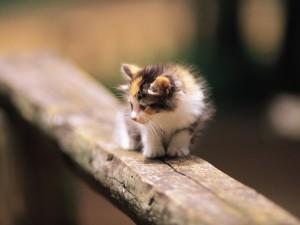 Postal: Gato tricolor