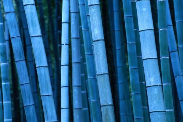 Bambú azul