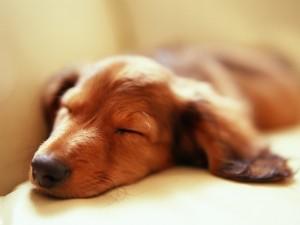 Un perro durmiendo