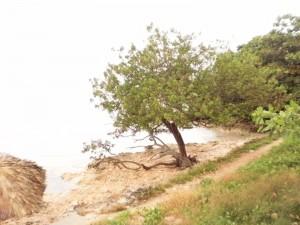 Postal: Un árbol en la playa