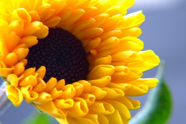 Flor de pétalos amarillos