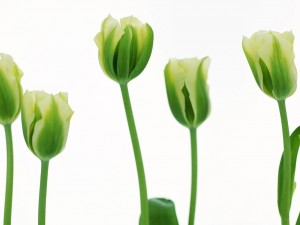Postal: Tulipanes verdes