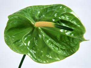 Postal: Anthurium verde