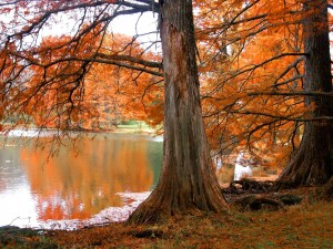 Postal: Árboles de hojas anaranjadas