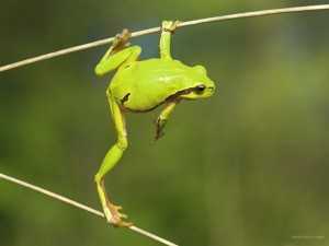 Rana verde equilibrista