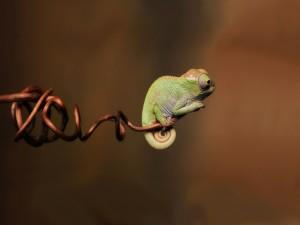 Camaleón en la punta de una rama