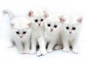 Gatitos blancos
