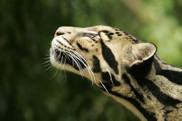 Leopardo rayado