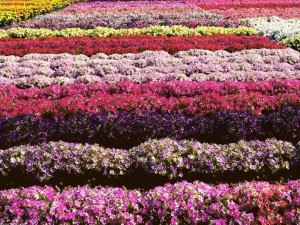 Campo de petunias