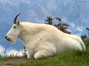 Postal: Cabra blanca