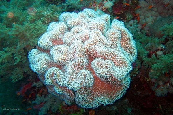 Coral blando (Arrecife de Elphistone)